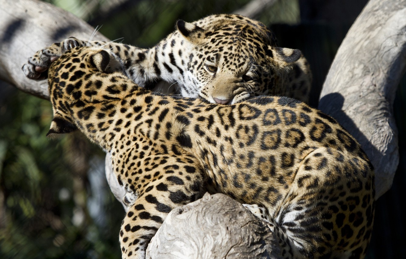 Photo wallpaper the game, predators, fight, fight, spot, color, wild cats, a couple, young, zoo, cubs, jaguars