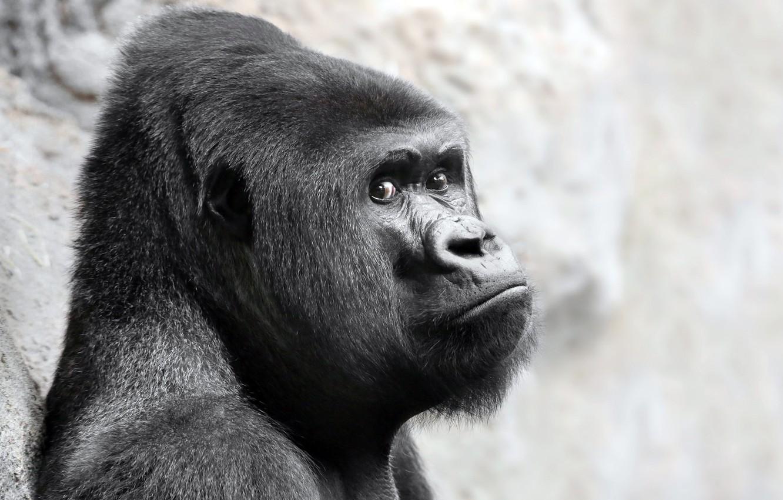 Photo wallpaper look, monkey, gorilla