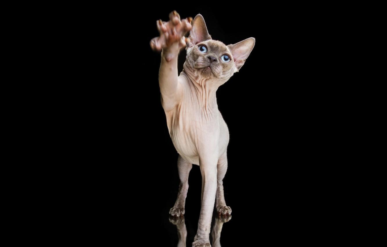 Photo wallpaper cat, paw, portrait, Sphinx, claws, black background