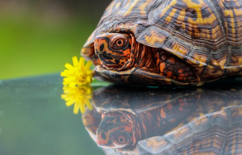 Photo wallpaper flower, reflection, dandelion, turtle