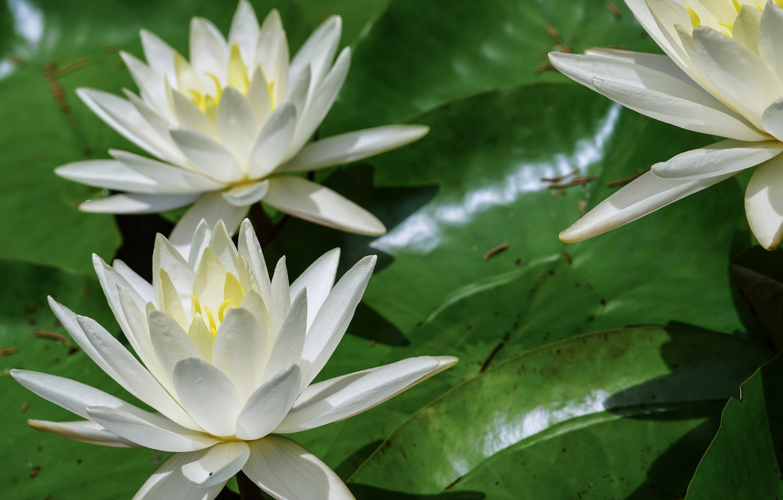 Photo wallpaper summer, nature, flowering, water lilies