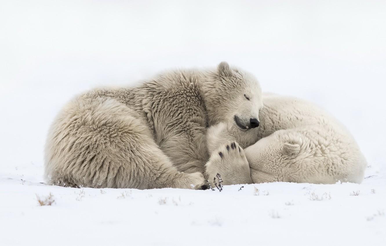 Photo wallpaper snow, nature, bears