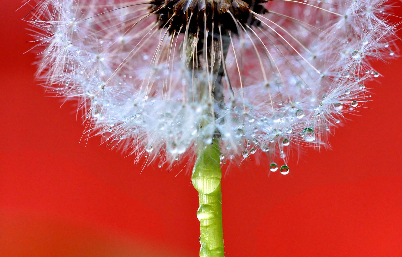Photo wallpaper flower, drops, dandelion, blade of grass