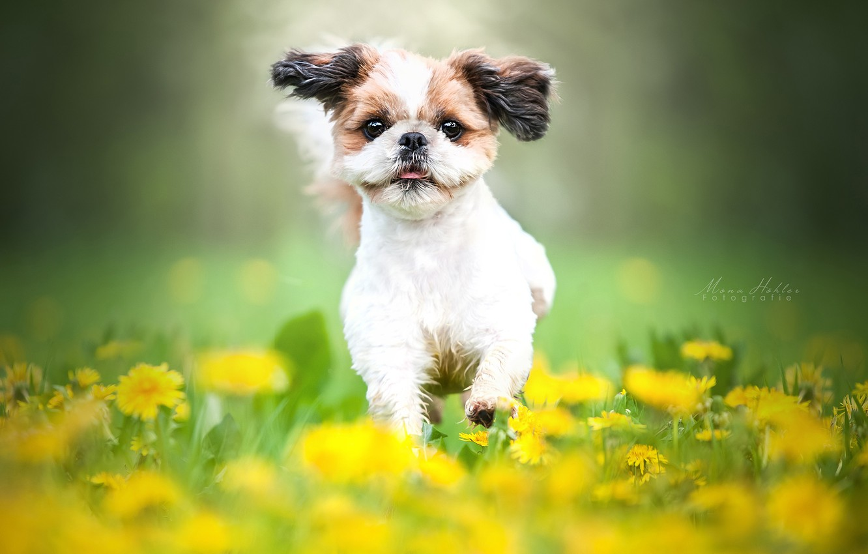 Photo wallpaper flowers, mood, dog, meadow, walk, dandelions, bokeh, doggie, Shih Tzu
