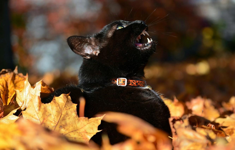 Photo wallpaper black cat, autumn leaves, meows, blur bokeh