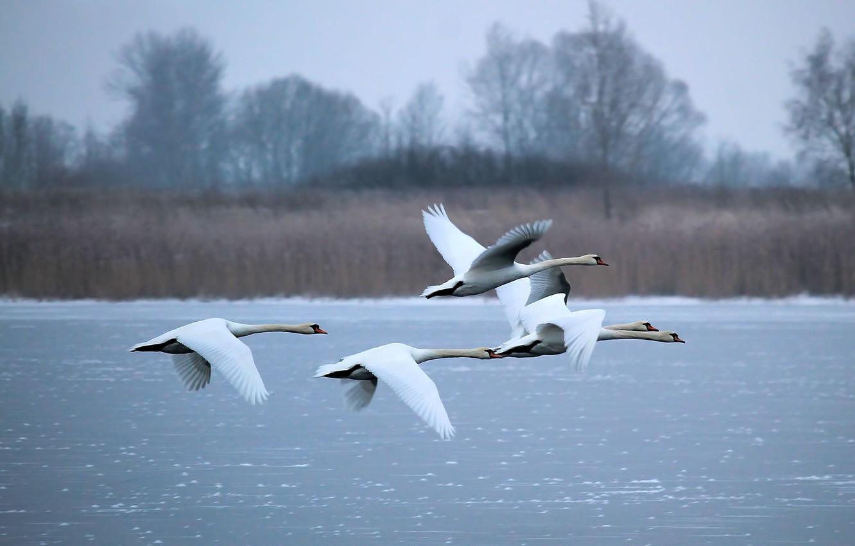 Photo wallpaper winter, lake, white, swans, fly