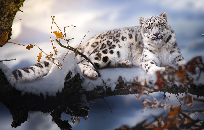 Photo wallpaper winter, snow, branches, nature, animal, predator, IRBIS, bars, Thai Phung