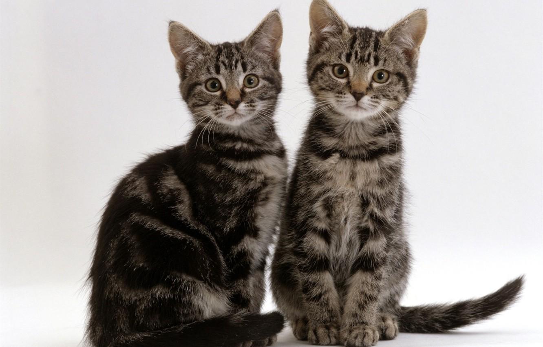 Photo wallpaper kittens, grey, Duo