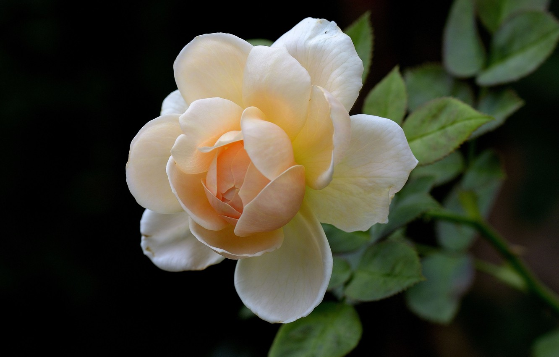 Photo wallpaper flower, background, rose, Bud