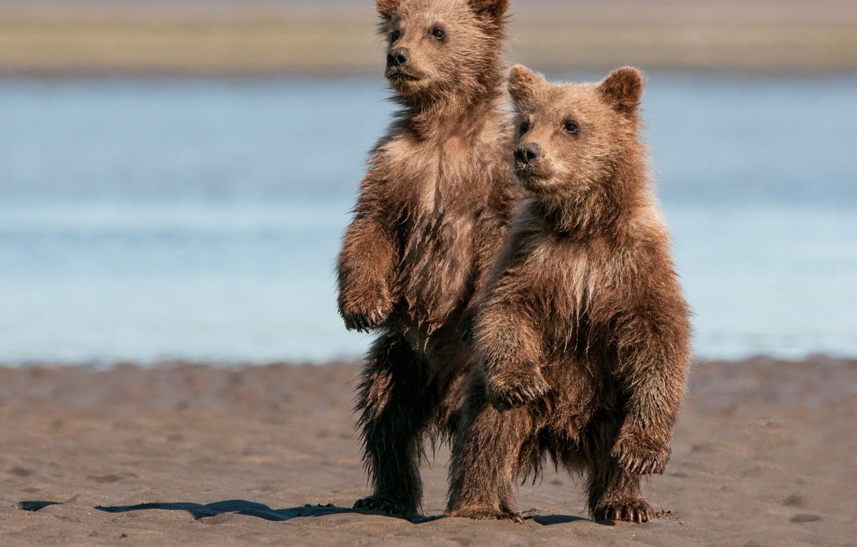 Photo wallpaper bears, Alaska, pair, Alaska, bears, stand, Lake Clark National Park, two of the bear, National …