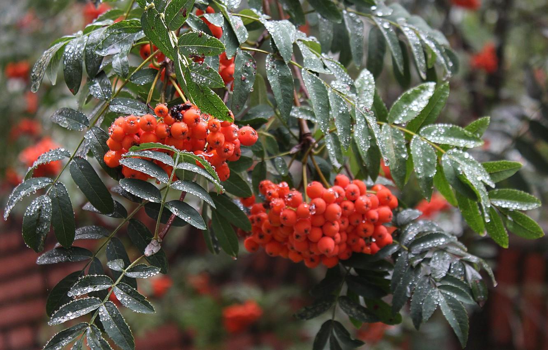 Photo wallpaper autumn, drops, macro, berries, rain, branch, Rowan