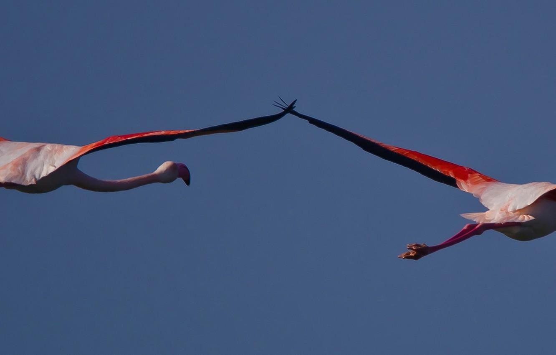Photo wallpaper flight, birds, wings, beak, Flamingo, neck
