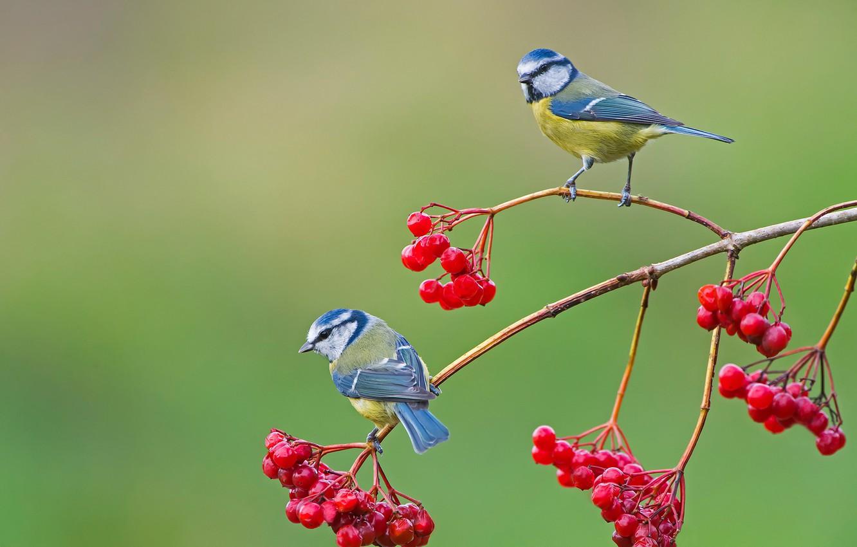 Photo wallpaper birds, berries, background, branch, pair, Kalina, Titmouses, Blue tit