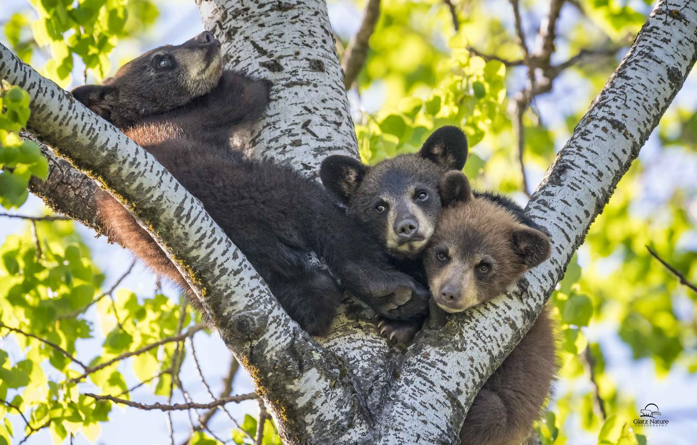 Photo wallpaper tree, kids, bears, trio, Baribal