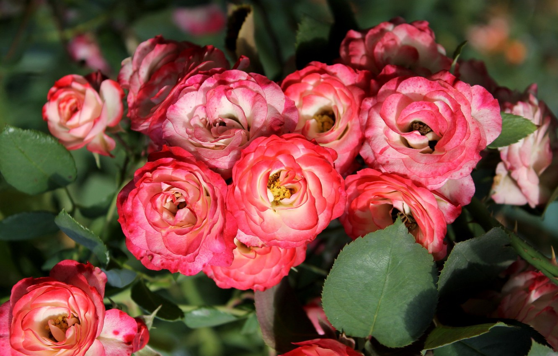 Photo wallpaper macro, roses, motley