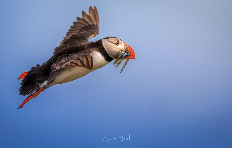 Photo wallpaper bird, fish, flight, Puffin, catch, Stalled