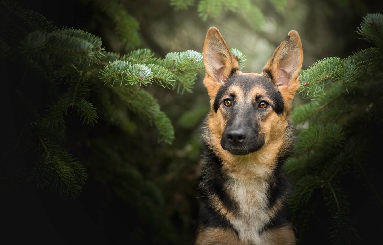 Photo wallpaper look, face, portrait, dog, German shepherd, spruce branches
