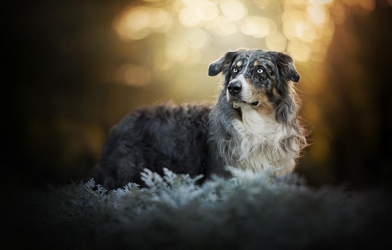 Photo wallpaper look, dog, bokeh, Australian shepherd, Aussie