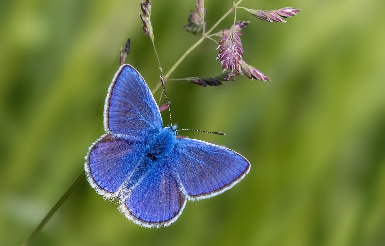 Photo wallpaper macro, background, butterfly, a blade of grass, Polyommatus Icarus