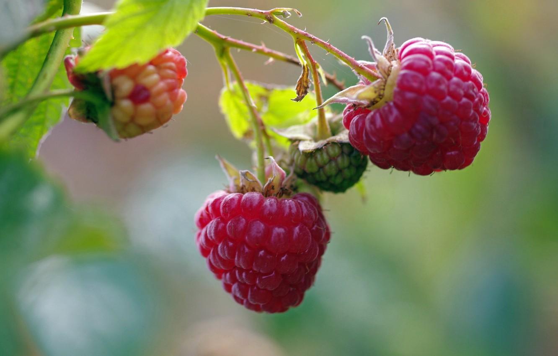 Photo wallpaper autumn, nature, berries, raspberry, beauty, positive, harvest, sweet, dessert, September, cottage, treat, delight