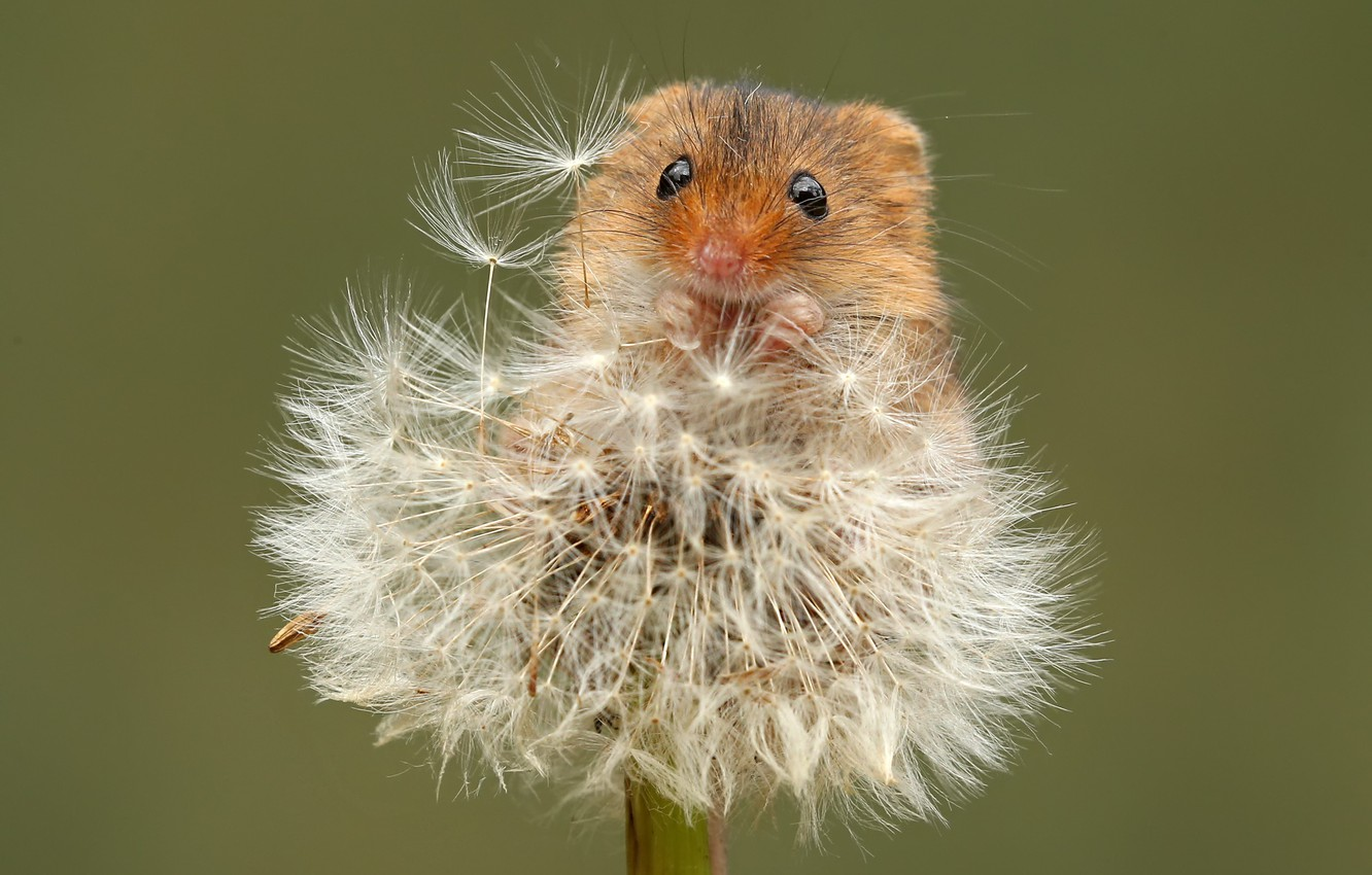 Photo wallpaper summer, nature, dandelion, mouse, the mouse is tiny
