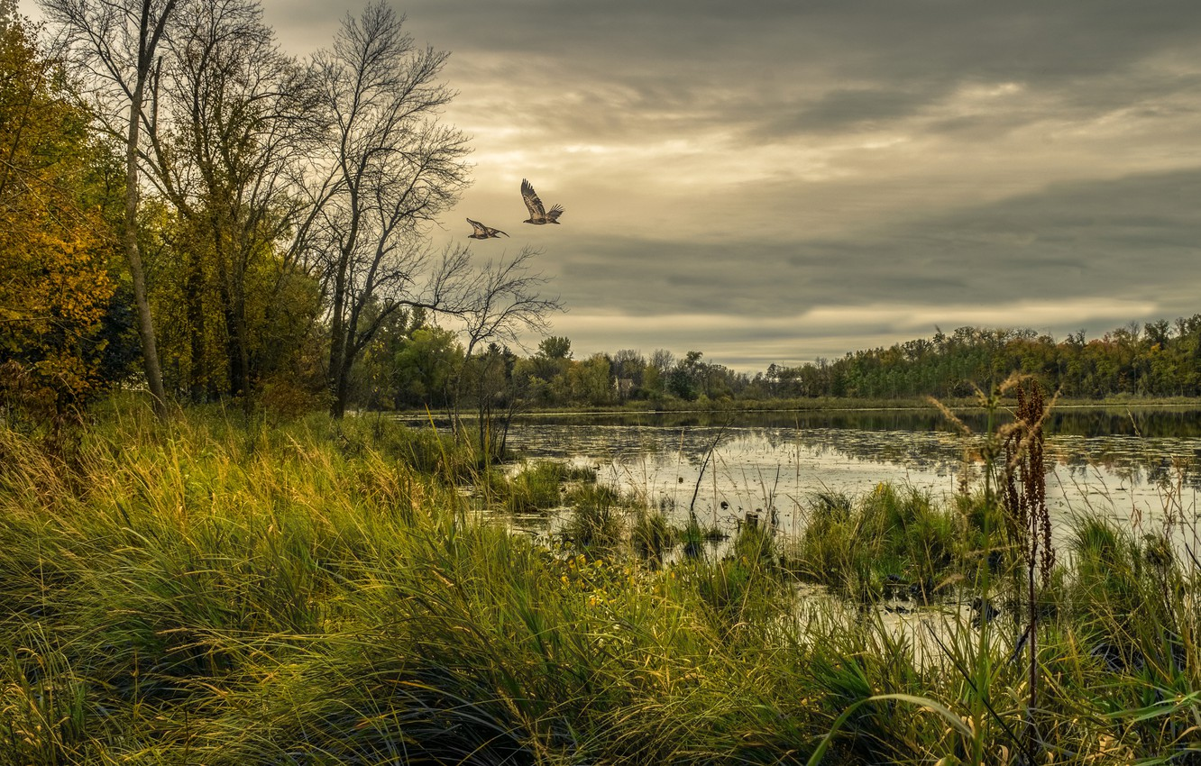 Photo wallpaper forest, the sky, grass, trees, birds, clouds, lake, overcast, USA, Minnesota, Chisago