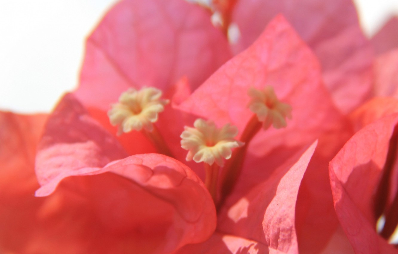 Photo wallpaper flower, petals, bougainvillea