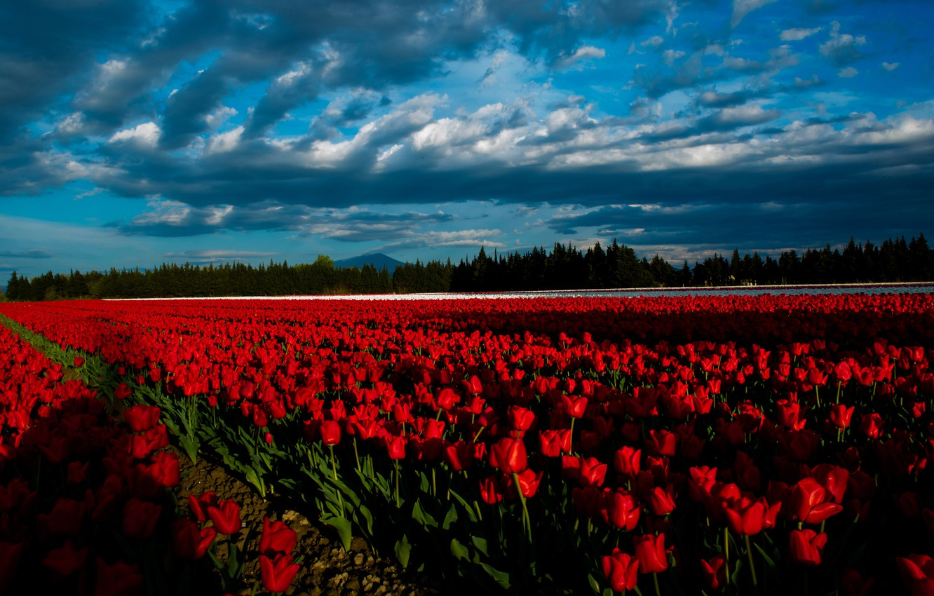 Photo wallpaper field, forest, the sky, clouds, light, line, landscape, flowers, clouds, nature, blue, lighting, tulips, red, …