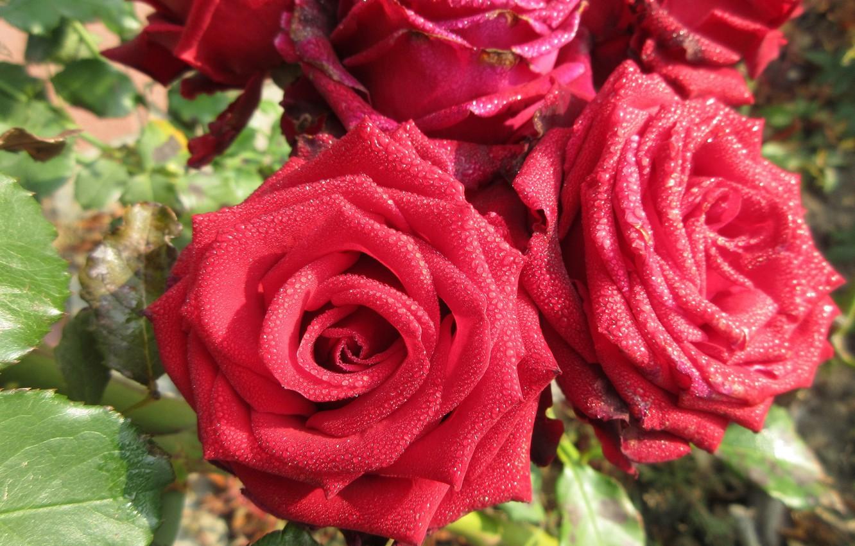 Photo wallpaper Rosa, roses, autumn