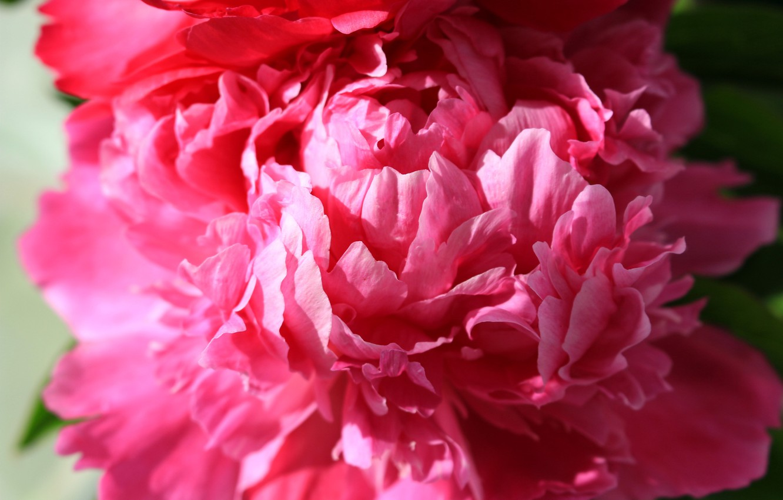 Photo wallpaper flower, summer, macro, peony, macro flowers nature