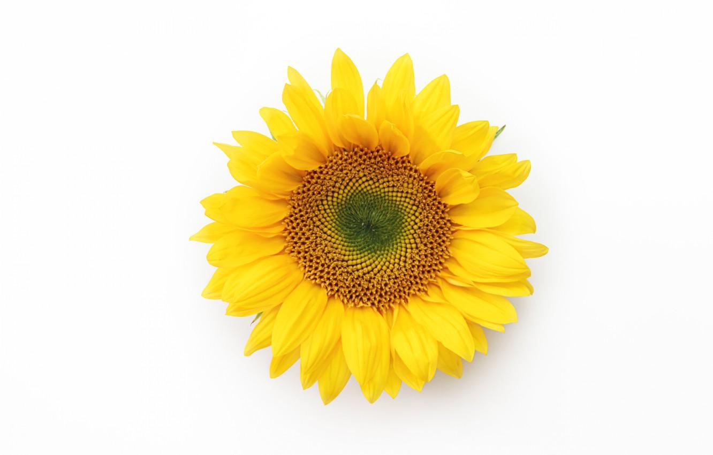 Photo wallpaper macro, background, sunflower, petals