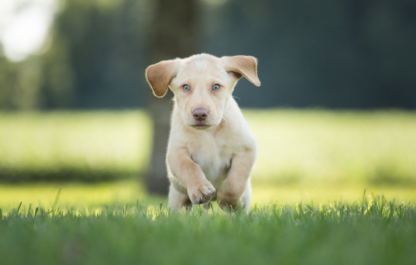 Photo wallpaper grass, puppy, walk, bokeh, doggie