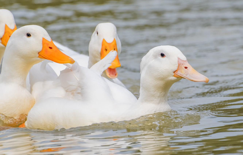 Photo wallpaper birds, duck, white, Pond