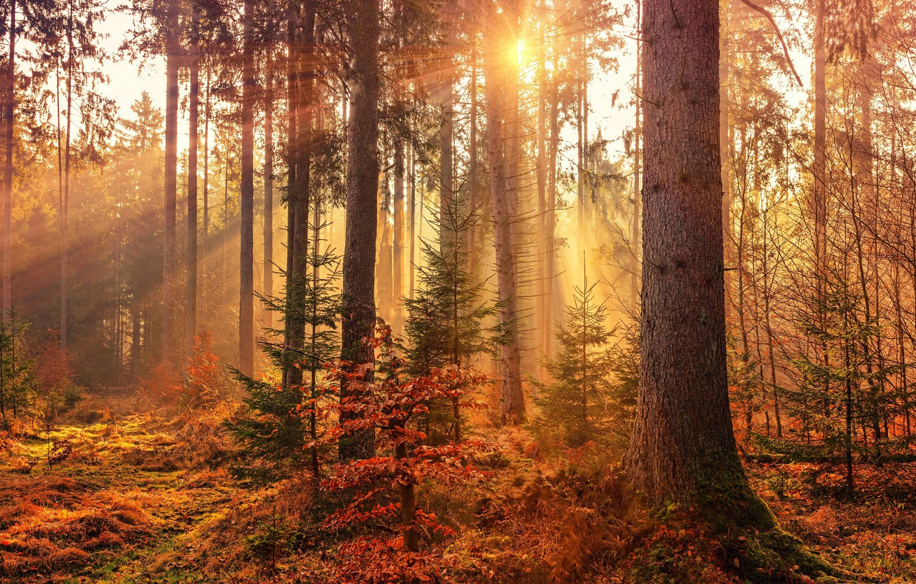 Photo wallpaper forest, rays, light, trees