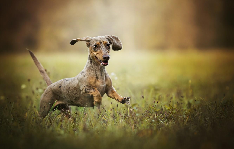 Photo wallpaper grass, joy, mood, Dachshund, walk, bokeh, dog