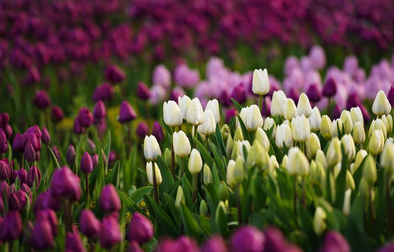 Photo wallpaper flowers, tulips, white, bokeh