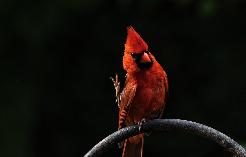 Wallpaper Red Bird Red Bird Cardinal Angry Birds