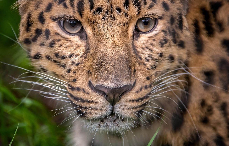 Photo wallpaper look, portrait, leopard