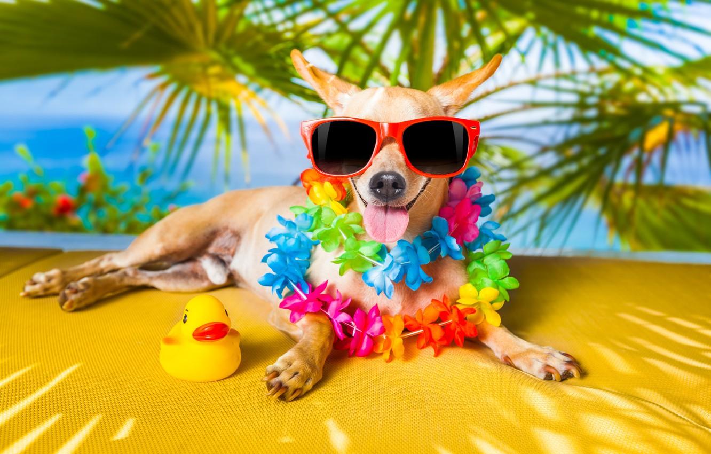 Photo wallpaper language, dog, humor, glasses, duck