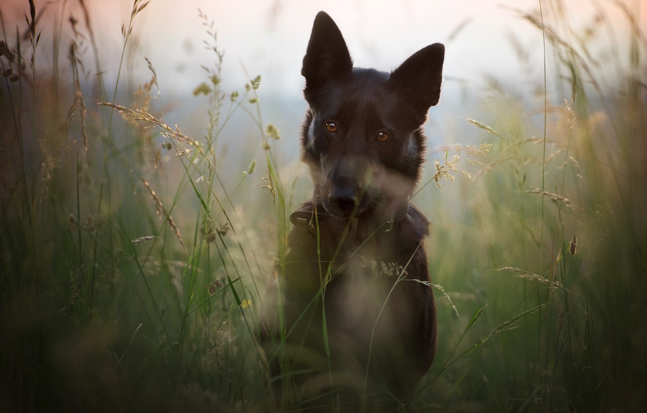 Photo wallpaper field, summer, grass, face, nature, stems, portrait, dog, meadow, black, German shepherd, dog, shepherd, German, ...