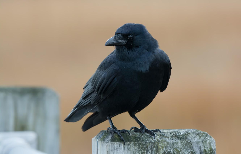 Photo wallpaper nature, bird, American Crow