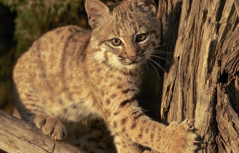 Photo wallpaper cub, kitty, lynx