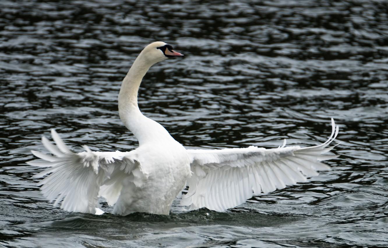 Photo wallpaper lake, Swan, open wings, cloudy weather