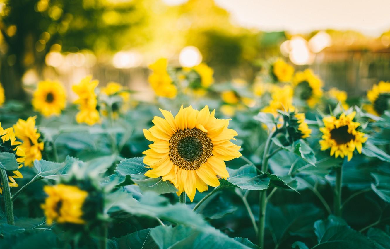 Photo wallpaper sunflowers, a lot, yellow petals