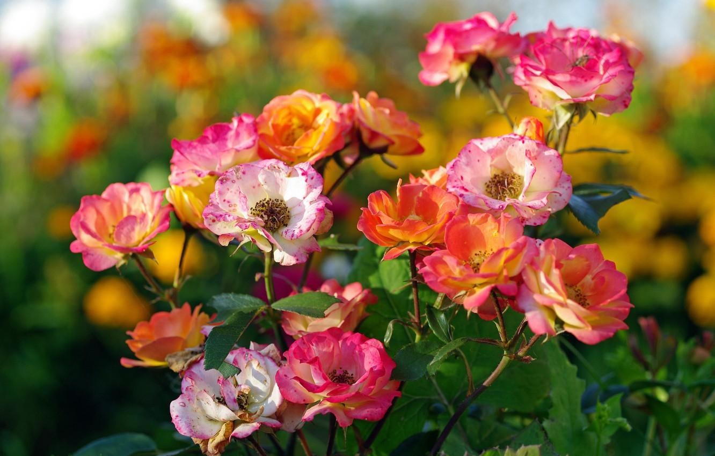 Photo wallpaper autumn, flowers, nature, roses, beauty, plants, flowering, September, flora