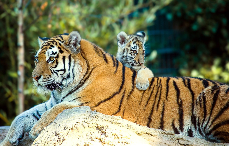 Photo wallpaper animals, nature, stone, predators, cub, tigers, tigress, tiger