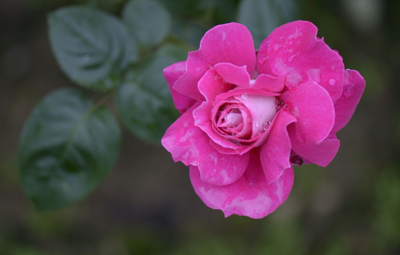 Photo wallpaper drops, macro, Rosa, rose, petals, Bud