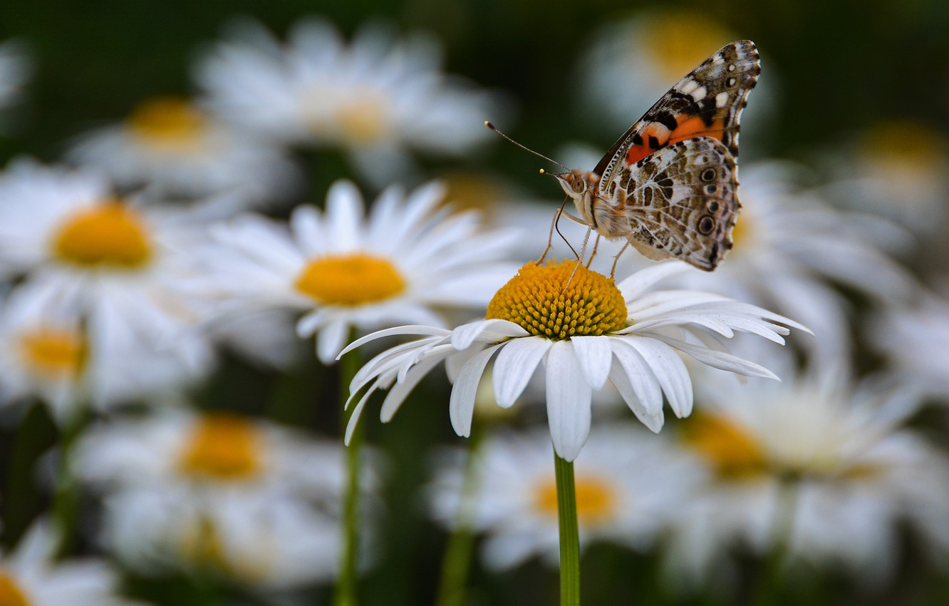 Photo wallpaper summer, macro, flowers, insects, butterfly, chamomile, cottage, our cottage