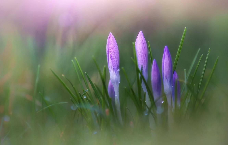 Photo wallpaper flowers, focus, spring, crocuses, Krokus
