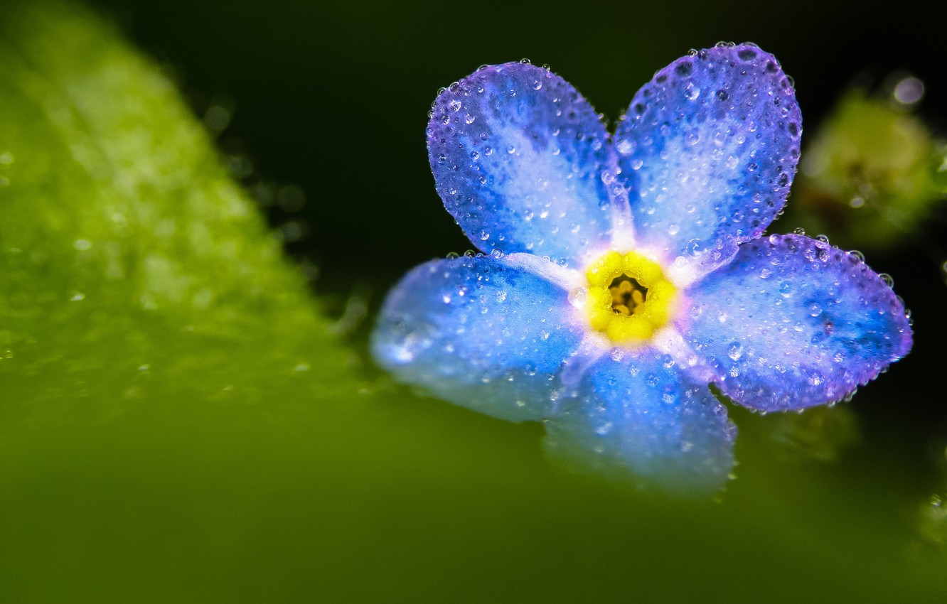 Photo wallpaper macro, blue, forget-me-not